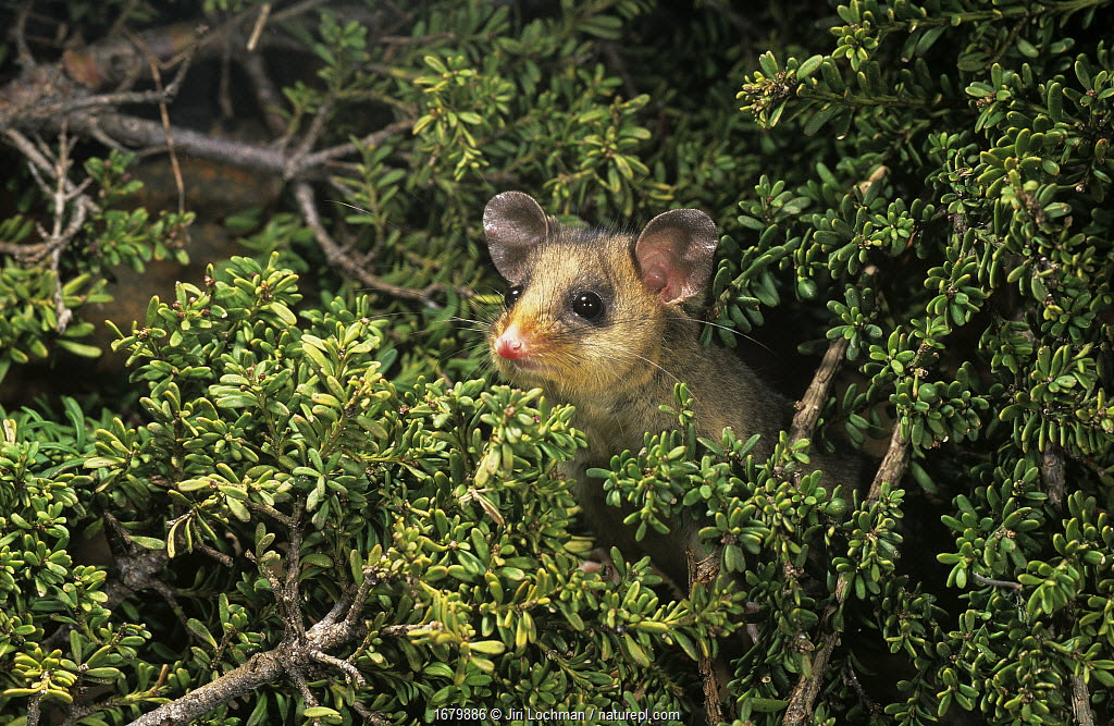 Mountain pygmy-possum (Burramys parvus), Kosciuszko National Park, Australia. Critically endangered species.