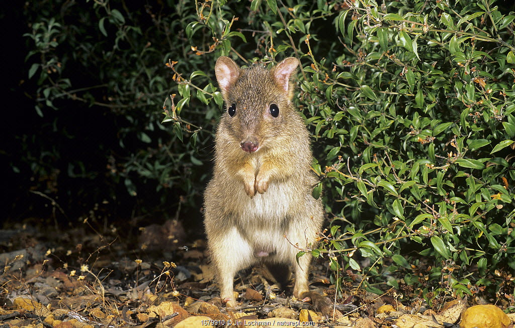 Brush-tailed Bettong or Woylie (Bettongia penicillata), Wheatbelt Region, Western Australia. Critically endangered species.