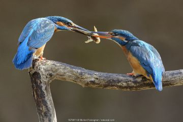 Kingfisher (Alcedo atthis) male passing fish to female, courtship behaviour, Lorraine, France, March