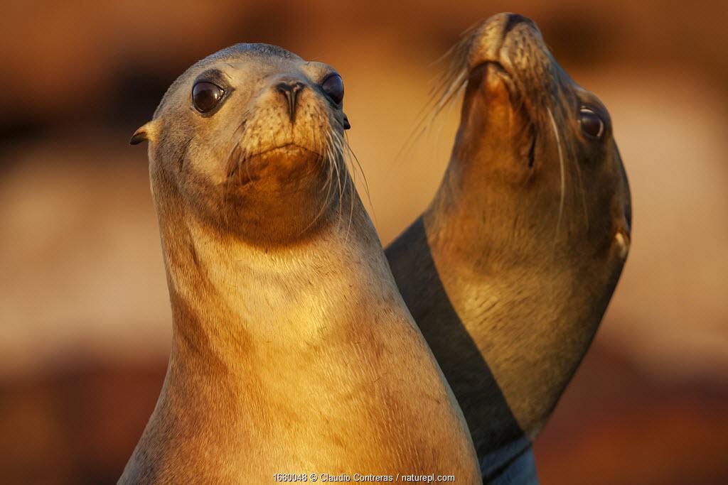 Californian sea lion (Zalophus californianus), Los Islotes, Espiritu Santo Archipelago National Park, Sea of Cortez (Gulf of California), Mexico, September