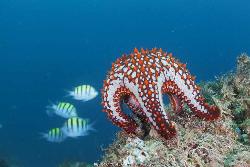 Panamic cushion star (Pentaceraster cumingi), Botella Point, Gulf of California (Sea of Cortez), Mexico, August