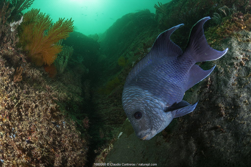 Giant damselfish (Microspathodon dorsalis) guarding egg mass, Coronado Island, Loreto Bay National Park, Gulf of California (Sea of Cortez), Mexico, August