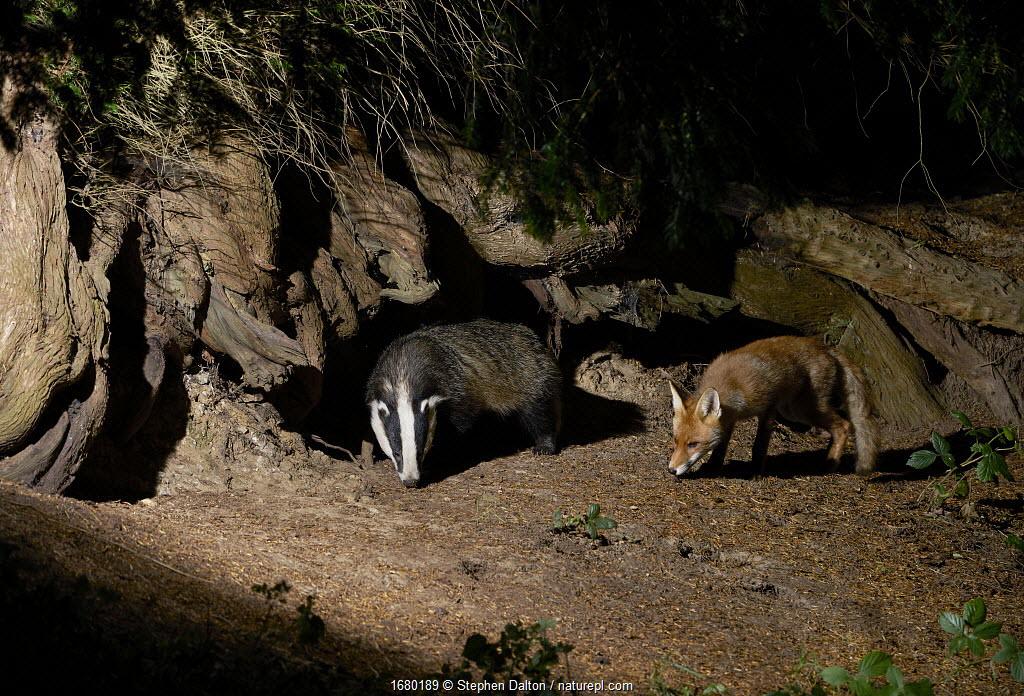 Badger (Meles meles) and Fox (Vulpes vulpes) at night, England, UK.
