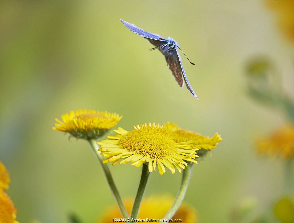 Common blue butterfly (Polyommatus icarus) in flight Sussex, England, UK, July.