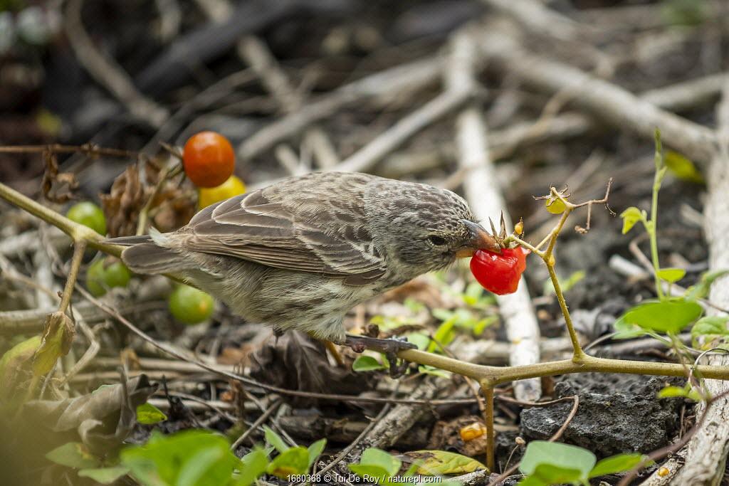 Darwin's medium ground finch (Geospiza fortis), eating native tomatoes, Santa Cruz Island, Galapagos Islands.