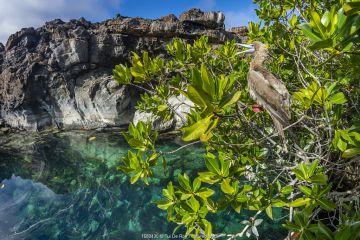 Red-footed booby (Sula sula), brown morph, Genovesa Island, Galapagos Islands.
