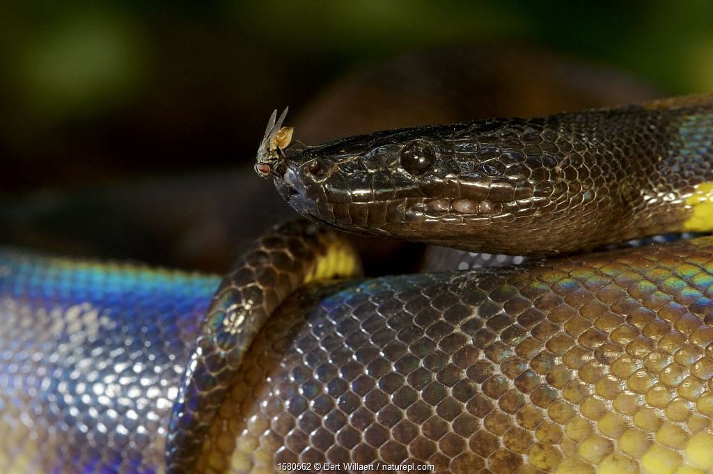 Portrait of a Bismarck Ringed python (Bothrochilus boa) with fly, Willaumez Peninsula, New Britain, Papua New Guinea, December