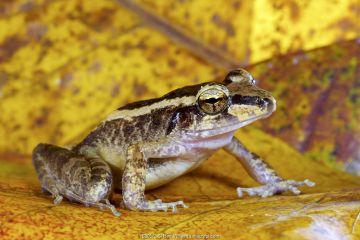 Schmidt's wrinkled ground frog (Cornufer schmidti / Platymantis schmidti), endemic to the Bismarck Arpichelago, Willaumez Peninsula, New Britain, Papua New Guinea, December