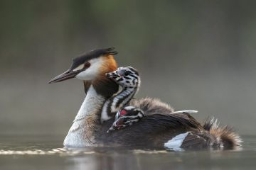Great crested grebe (Podiceps cristatus) adult with young on nthe back busy with jockeiing for the best position on the back Valkenhorst Nature Reserve, Valkenswaard, The Netherlands. May