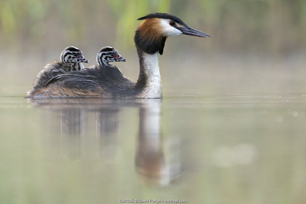 Great crested grebe (Podiceps cristatus) parent bird with chicks on its back, portrait in the first morning light Valkenhorst Nature Reserve, Valkenswaard, The Netherlands. May