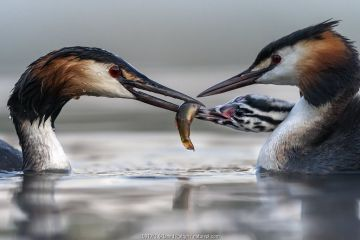 Great crested grebe (Podiceps cristatus) parents busy feeding their young with fish, in this case a small Tench (Tinca tinca) Valkenhorst Nature Reserve, Valkenswaard, The Netherlands. June