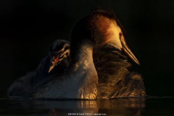 Great crested grebe (Podiceps cristatus) adult with young chick on the back preening in the first morning light Valkenhorst Nature Reserve, Valkenswaard, The Netherlands. May.