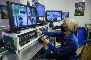 Video monitoring of a Giant panda (Ailuropoda melanoleuca) by Delphine Pouvrault, head keeper of the panda unit. Beauval ZooParc, Saint-Aignan, France. August 2021. Editorial use only.