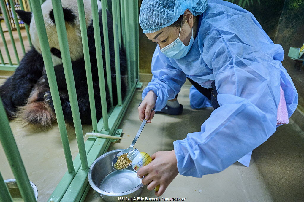 Keeper (Mrs. Mao Min) preparing high protein food mixed with Chinese herbs made from tea for the female Giant panda (Ailuropoda melanoleuca), Beauval ZooPark, France. 4 August 2021.