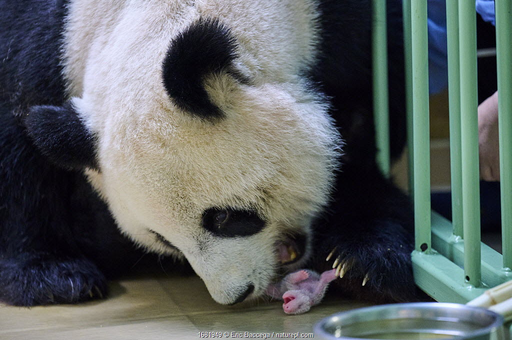 Giant panda (Ailuropoda melanoleuca) female, Huan Huan, taking her 4 days baby in mouth, Beauval ZooParc, France 5 August 2021.