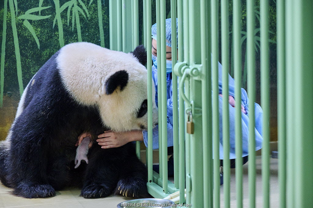 Keeper (Mrs Mao Min) helping Giant panda (Ailuropoda melanoleuca) female Huan Huan, to nurse her female baby. Beauval ZooPark, France. 5 August 2021.