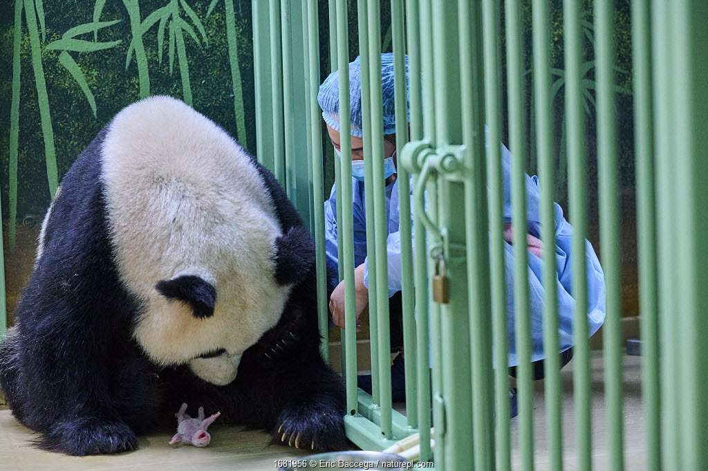 Keeper (Mrs Mao Min) helping Giant panda (Ailuropoda melanoleuca) female Huan Huan, to nurse her female baby. The newborn has fallen to the ground but is unharmed. Beauval ZooPark, France. 5 August 2021.