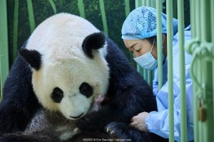 Keeper (Mrs Mao Min) helping Giant panda (Ailuropoda melanoleuca) Huan Huan, to nurse her female baby. Beauval ZooPark, France. 6 August 2021. Editorial use only.