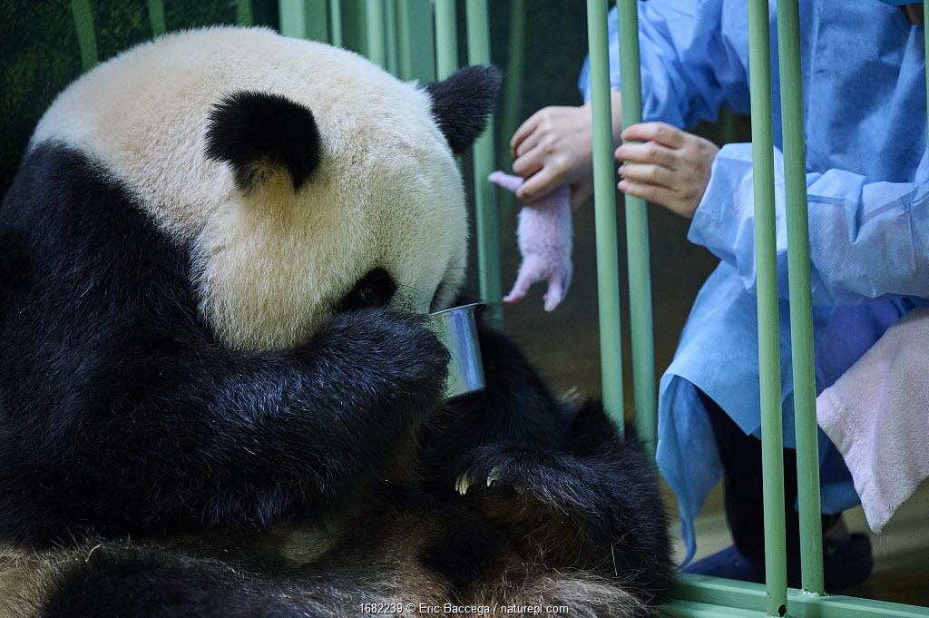 Keeper ( Mrs Mao Min) feeding Giant panda (Ailuropoda melanoleuca) female Huan Huan, whilst removing baby. Beauval ZooPark, France. 7 August 2021.