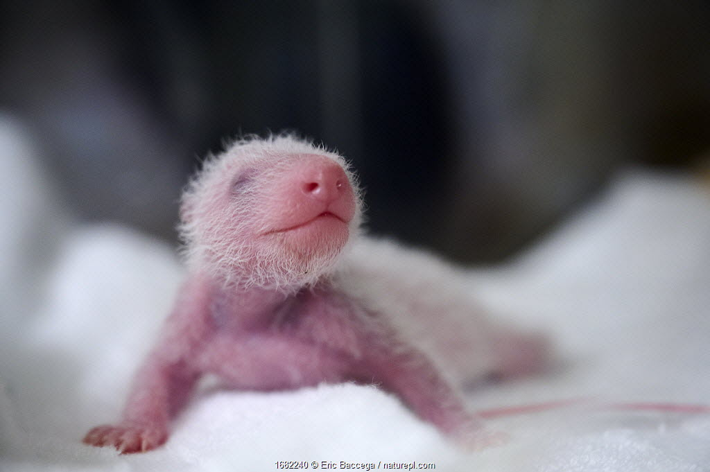 Giant panda (Ailuropoda melanoleuca) female baby aged 7 days in incubator. Beauval ZooParc, France. 8 August 2021.