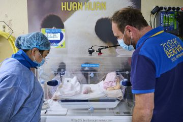 Chinese keeper (Mrs Mao Min) and Baptiste Mulot, head veterinarian watching female baby Giant panda (Ailuropoda melanoleuca). Beauval ZooParc, France. 8 August 2021.