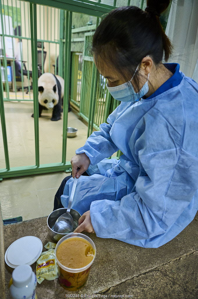 Keeper (Mrs. Lyu Riuqing) preparing high protein food mixed with honey for the female Giant panda (Ailuropoda melanoleuca) Huan Huan, Beauval ZooPark, France. 7 August 2021.