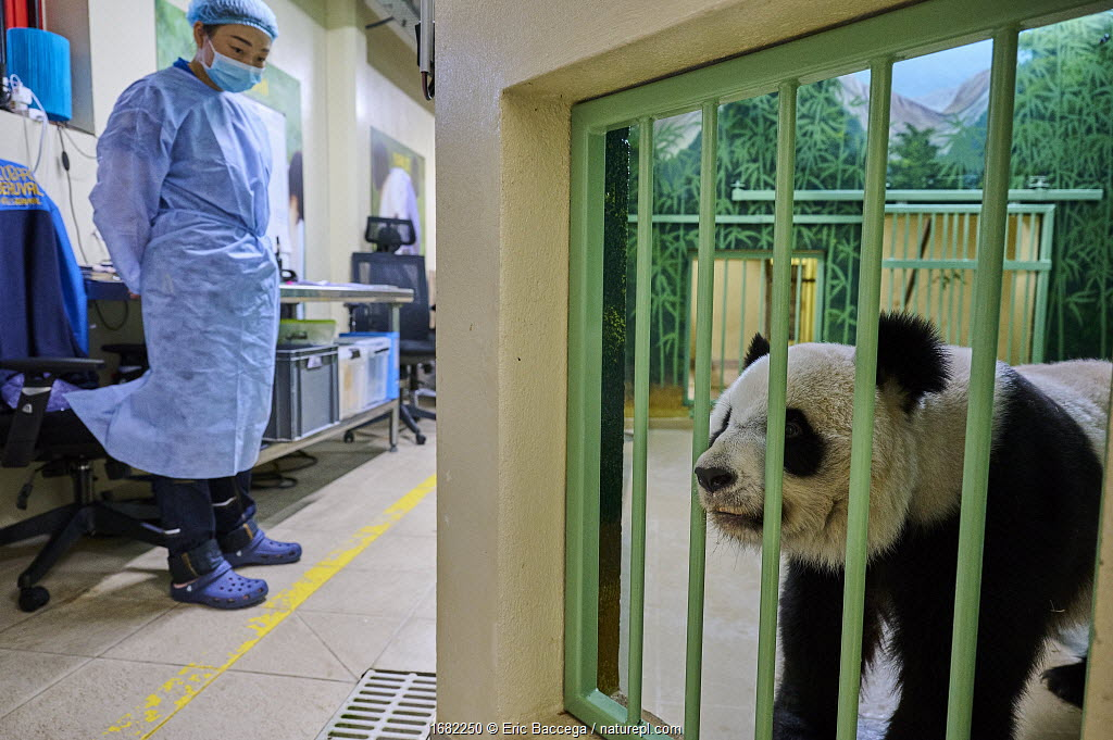 Giant panda (Ailuropoda melanoleuca) female, Huan Huan, waiting for her female baby to be returned by keeper, Beauval ZooParc, France 7 August 2021.
