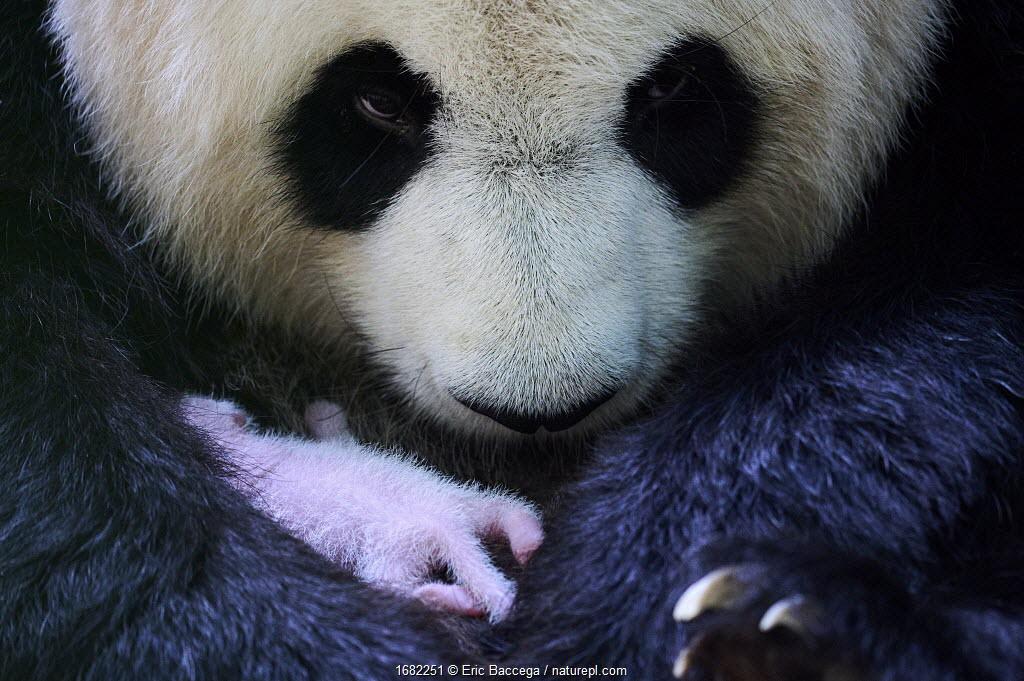 Giant panda (Ailuropoda melanoleuca) female Huan Huan, holding her female baby, Beauval ZooParc, France. 7 August 2021.