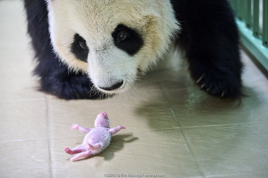 Giant panda (Ailuropoda melanoleuca) female, Huan Huan, picking up her baby age 6 days. Beauval ZooParc, France. 7 August 2021.