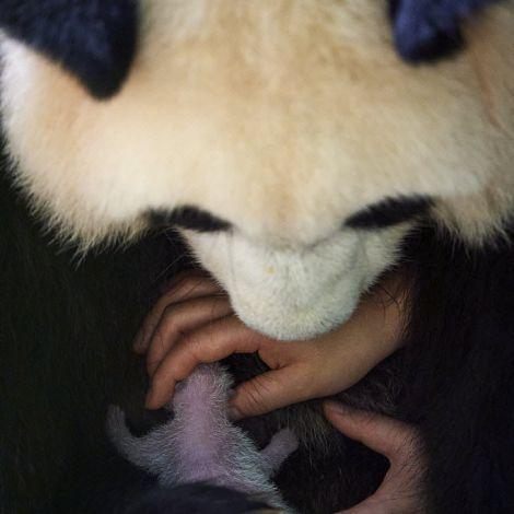 Keeper (Mrs Mao Min) helping Giant panda (Ailuropoda melanoleuca) female Huan Huan to nurse her female baby, Beauval ZooPark, France. 9 August 2021.