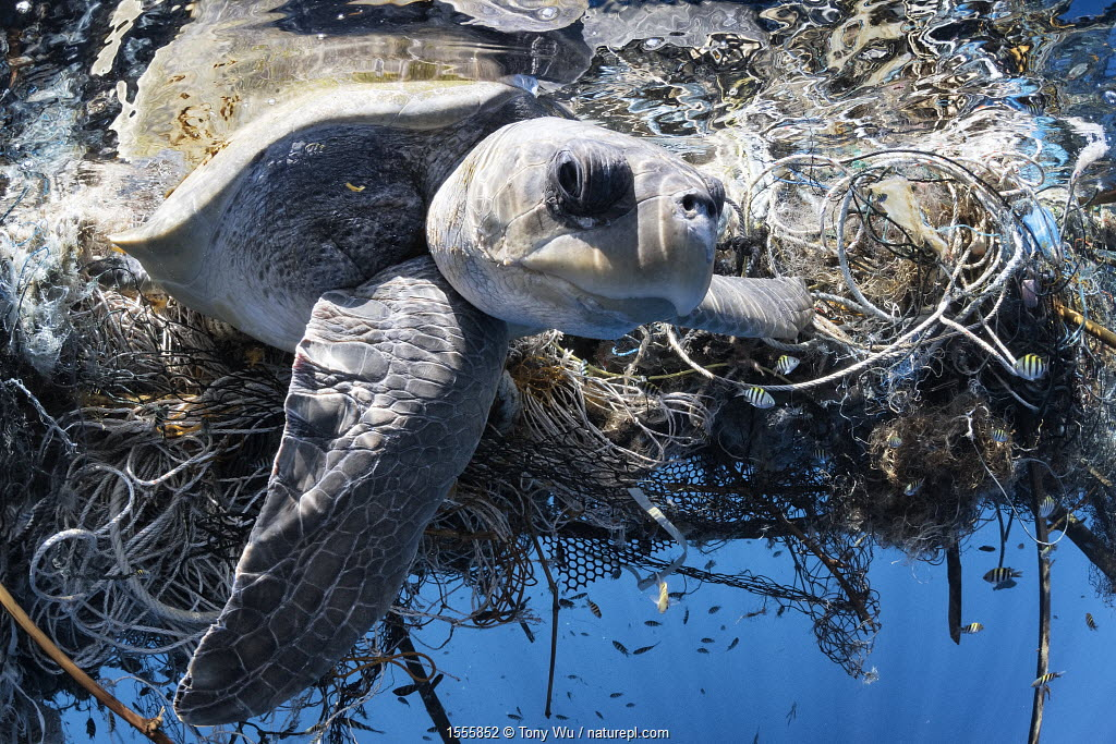 Olive ridley turtle (Lepidochelys olivacea) female entangled in a very large ghost fishing net in the Indian Ocean. She was successfully released. March 2014
