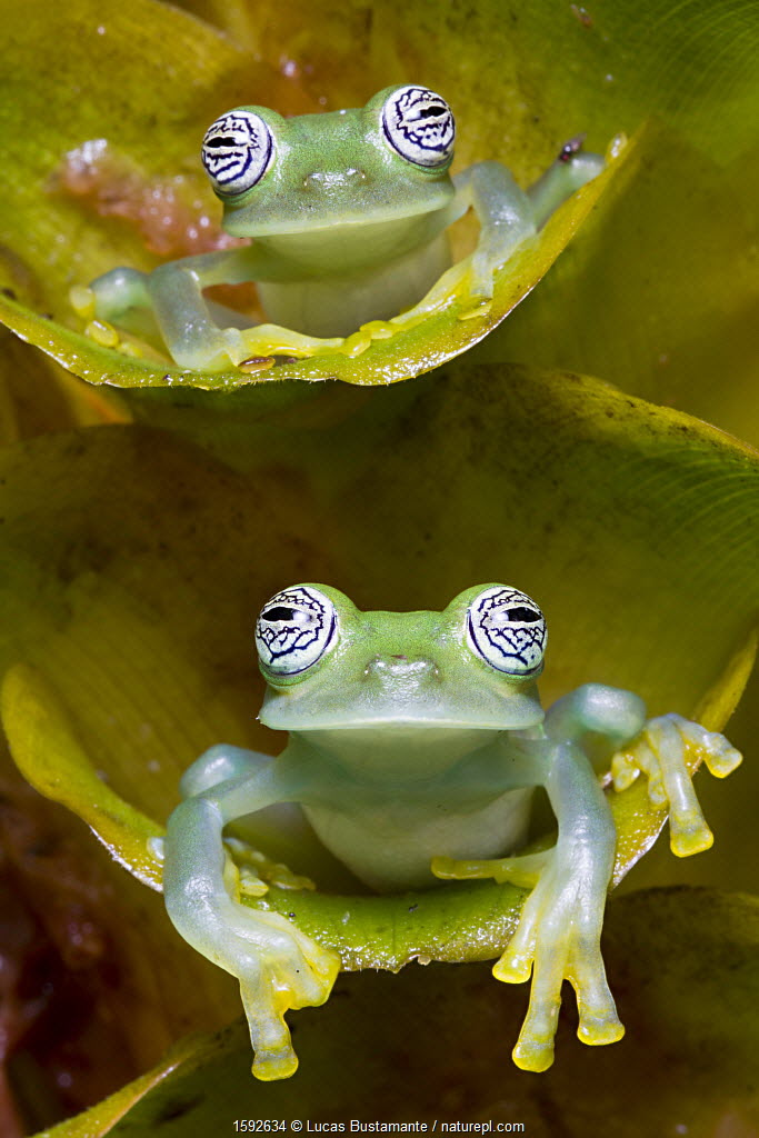 Two Limon glass frogs (Sachatamia ilex) sitting on plant, one above the other, Canande, Esmeraldas.