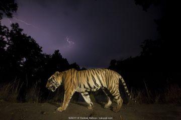 Bengal tiger (Panthera tigris tigris) walking at night, with monsoon clouds and lightning. Kanha National Park, Central India. Dominant male (T29)