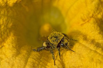 Bumblebee (Bombus sp) in Squash (Cucurbita sp) flower, covered in pollen. Surrey, England, UK. September.