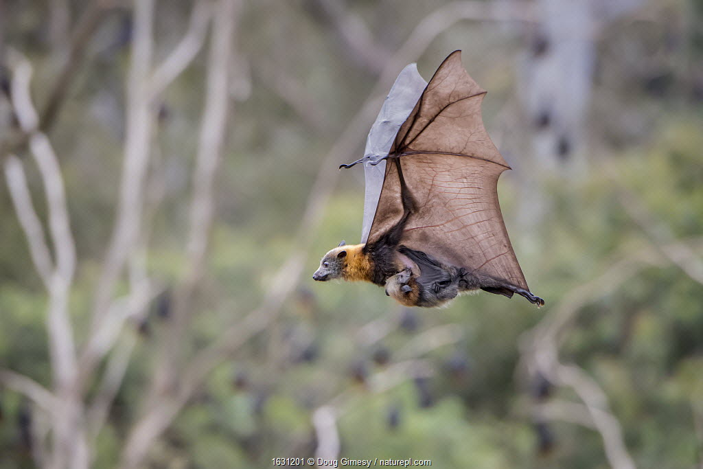 Grey-headed flying foxes (Pteropus poliocephalus) female carrying her pup whilst in flight, Yarra Bend Park, Kew, Victoria, Australia, December.