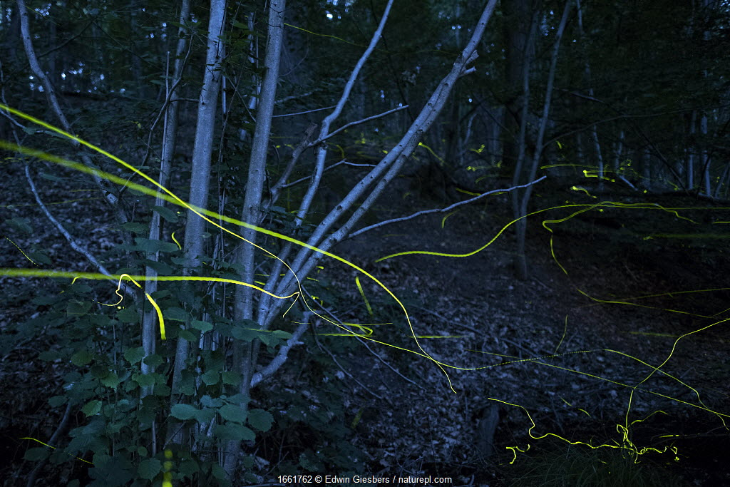 Firefly (Lamprohiza splendidula) light trails in woodland at night, multiple exposure. The Netherlands. June.