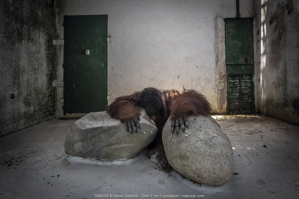 Orangutan (Pongo sp.) in a small cell, with only two boulders to keep him company. Dam Sen Amusement Park, Vietnam. August 2018