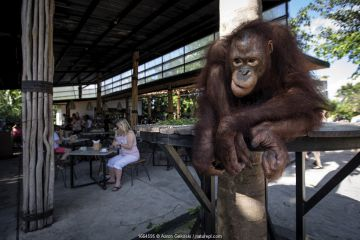 Orangutan (Pongo sp.) during a 'Breakfast with the Orangutans Experience' at Bali Zoo, Indonesia. Such attractions increase the risk of disease transmission between humans and animals. April 2019.