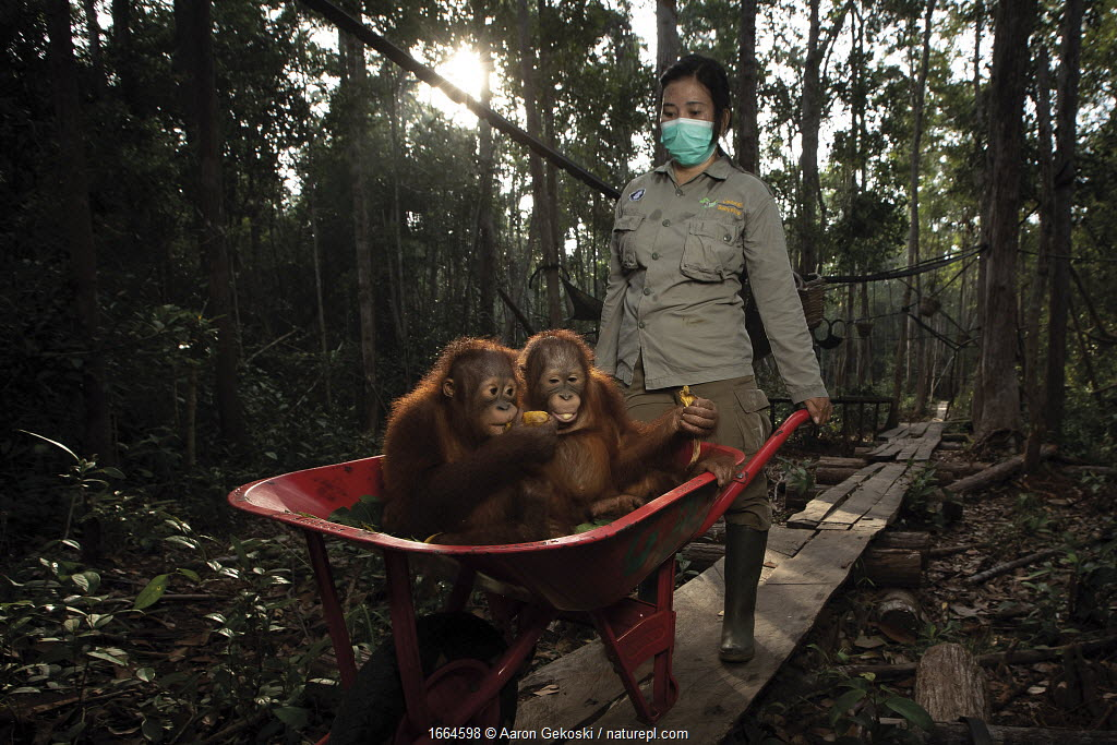 Orangutans (Pongo sp.) babies transported in a wheelbarrow on their way to 'Jungle School'. Borneo Orangutan Survival Foundation (BOSF), Kalimantan, Indonesian Borneo. July 2019.