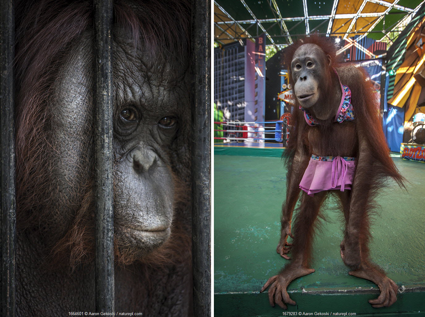 (LEFT) Captive orangutans (Pongo sp.) kept behind bars, used in shows for the entertainment of tourists. Safari World, near Bangkok, Thailand. March 2018. (RIGHT) Skinny Orangutan (Pongo sp.) dressed up and forced to perform in a boxing show for the entertainment of tourists. Safari World near Bangkok, Thailand.