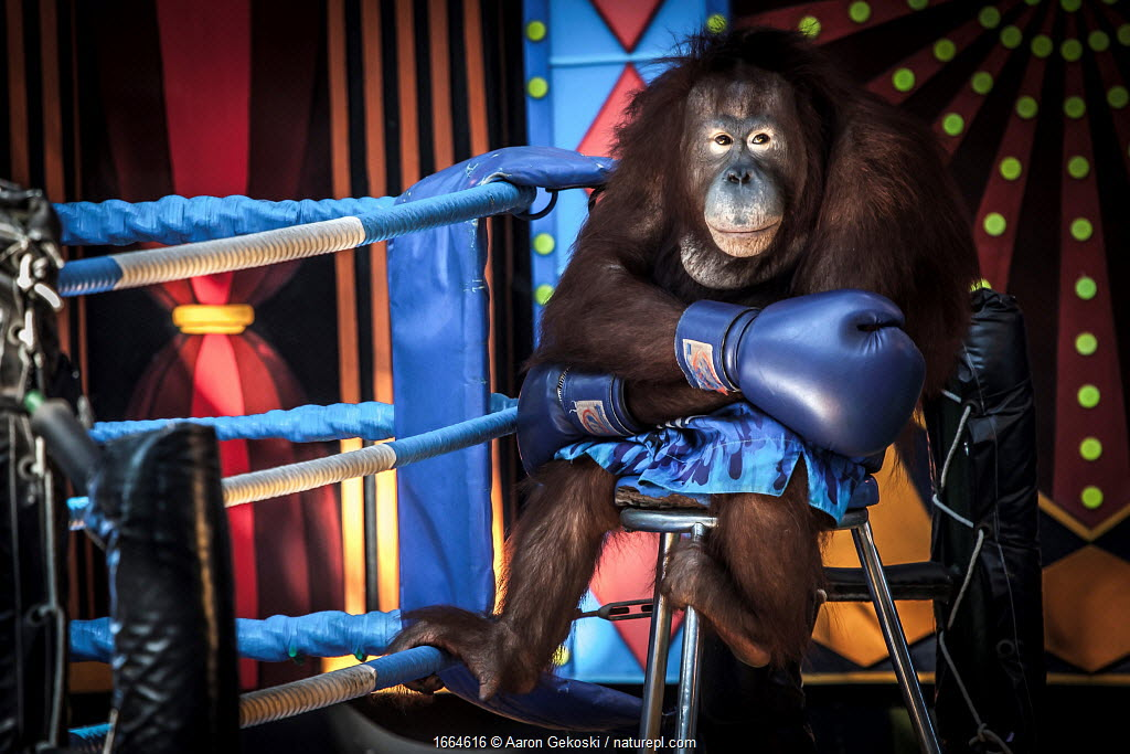 Orangutan (Pongo sp.) forced to perform in a boxing show for the entertainment of tourists. Safari World near Bangkok, Thailand
