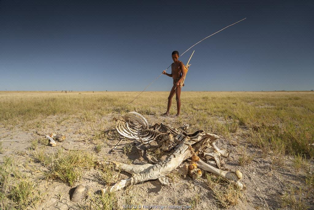 A Zu/'hoasi bushman considers the desiccated carcass of a plains zebra (Equus quagga) in the Makgadikgadi Pans, Botswana.