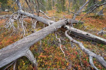 Ancient pine forest in Muddus National Park, Sweden, with old dead trees lying on forest floor, slowly decomposing.