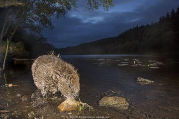 European beaver (Castor fiber) feeding at night, Knapdale Forest, Argyll, Scotland.