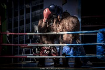 Dressed Orangutans (Pongo sp.) forced to perform in a boxing show for the entertainment of tourists. Safari World near Bangkok, Thailand.