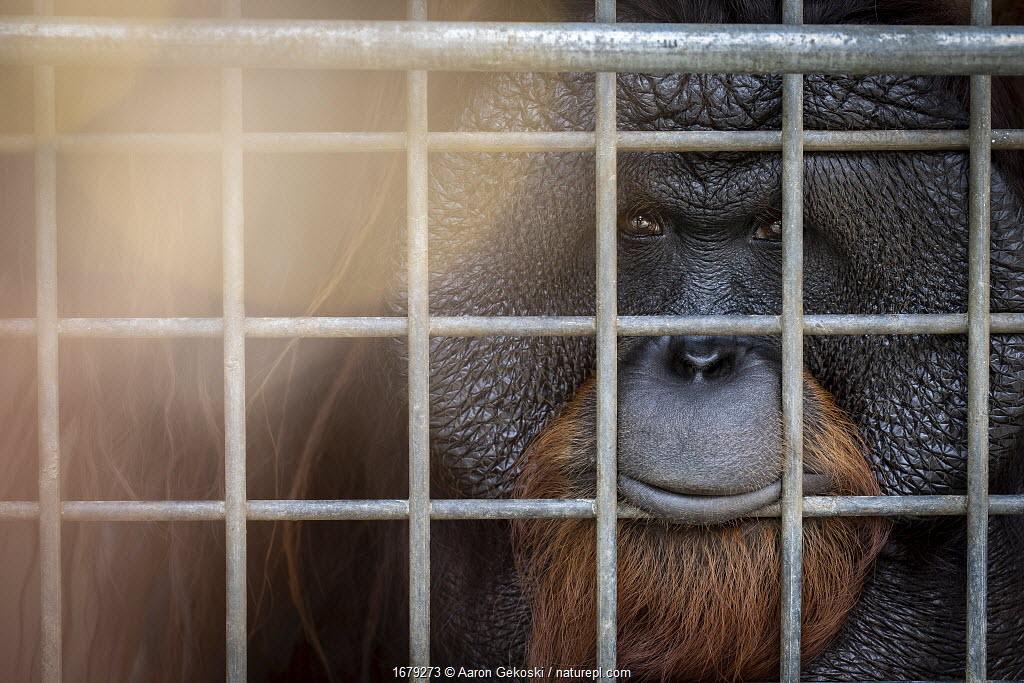 Adult orangutan (Pongo sp.)looking through bars of enclosure at Borneo Orangutan Survival Foundation (BOSF), Kalimantan, Indonesian Borneo.