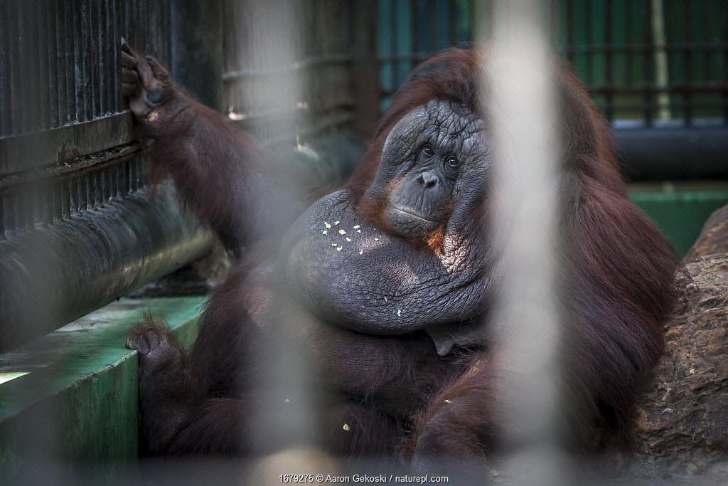 Obese Orangutan (Pongo sp.) in captivity at Safari World near Bangkok, Thailand. Orangutans in captivity often have a sedentary lifestyle due to improper enclosures. Overfeeding and depression also cause weight gain.