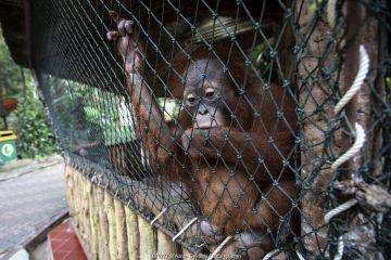 Baby Orangutan (Pongo sp.) used as prop for selfie photographs with tourists, Taman Safari, Bogor, Indonesia.