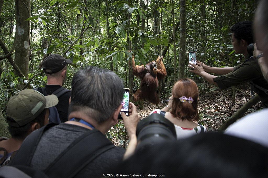 Sumatran orangutan (Pongo abelii), wild but habituated male, crowded by tourists with camera phones. Bukit Lawang, Sumatra, Indonesia.