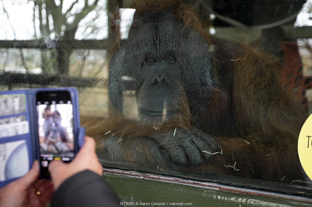 Caged Orangutan (Pongo sp.) being photographed by a visitor, Dudley Zoo, England, UK.